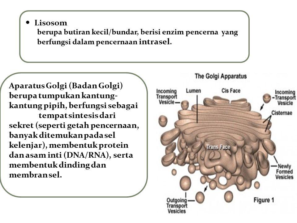 Lisosom berupa butiran kecil/bundar, berisi enzim pencerna yang berfungsi dalam pencernaan intrasel. Aparatus Golgi (Badan Golgi) berupa tumpukan kant