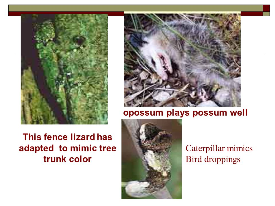 This fence lizard has adapted to mimic tree trunk color Caterpillar mimics Bird droppings opossum plays possum well