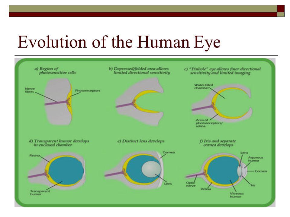 Evolution of the Human Eye
