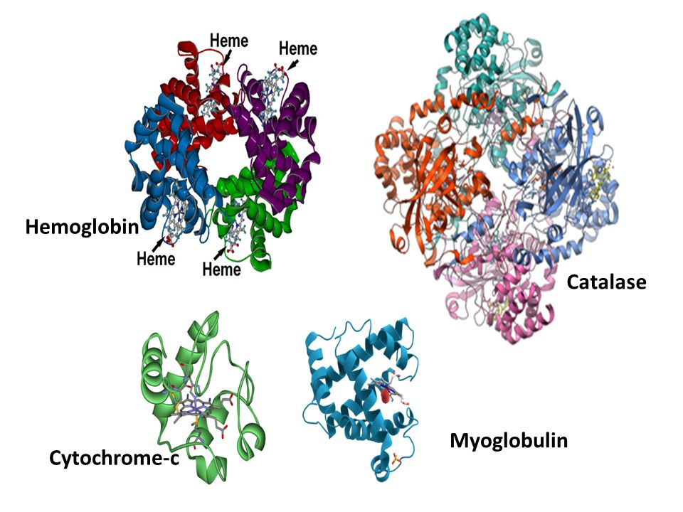 Myoglobulin Cytochrome-c Catalase Hemoglobin
