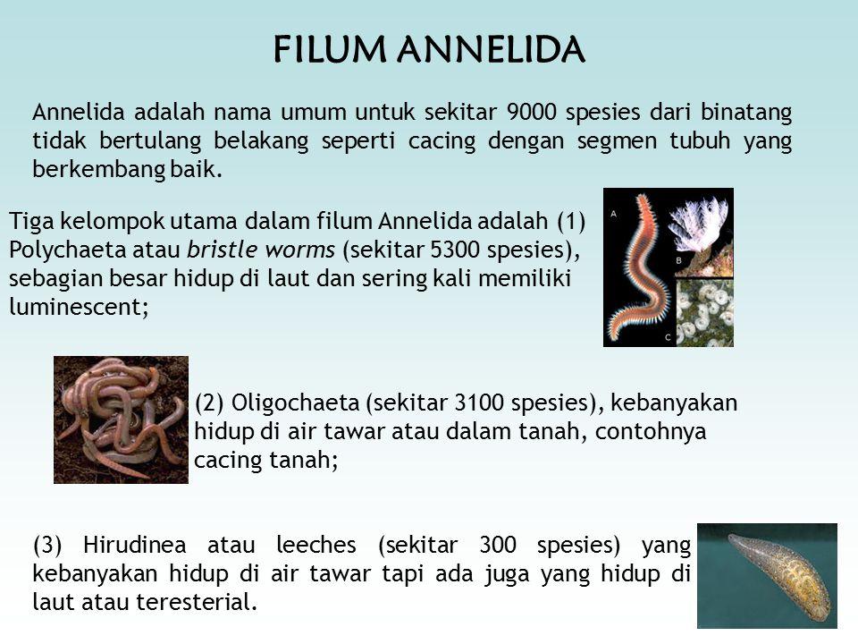 FILUM ANNELIDA Annelida adalah nama umum untuk sekitar 9000 spesies dari binatang tidak bertulang belakang seperti cacing dengan segmen tubuh yang berkembang baik.