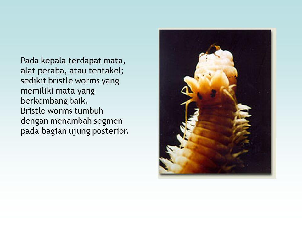 Pada kepala terdapat mata, alat peraba, atau tentakel; sedikit bristle worms yang memiliki mata yang berkembang baik. Bristle worms tumbuh dengan mena