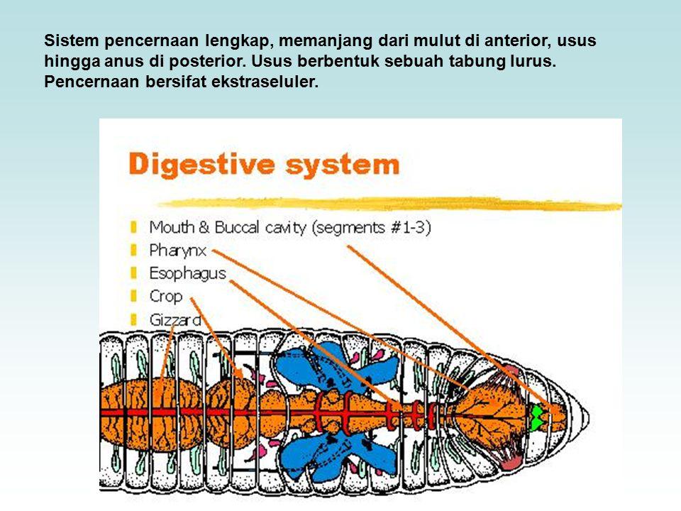 Sistem pencernaan lengkap, memanjang dari mulut di anterior, usus hingga anus di posterior. Usus berbentuk sebuah tabung lurus. Pencernaan bersifat ek