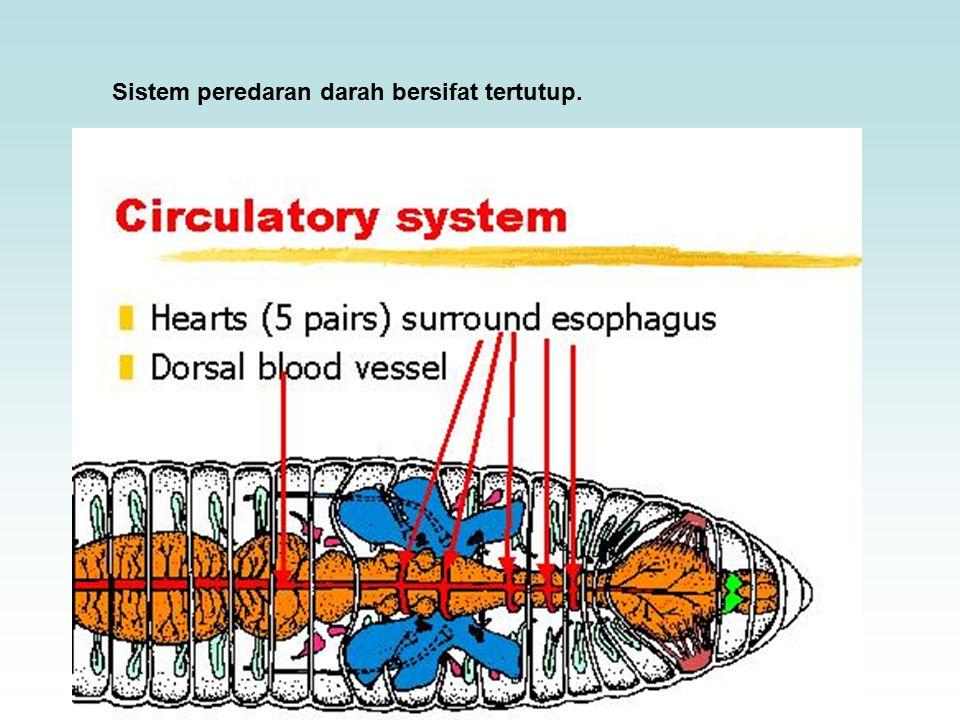 Sistem peredaran darah bersifat tertutup.