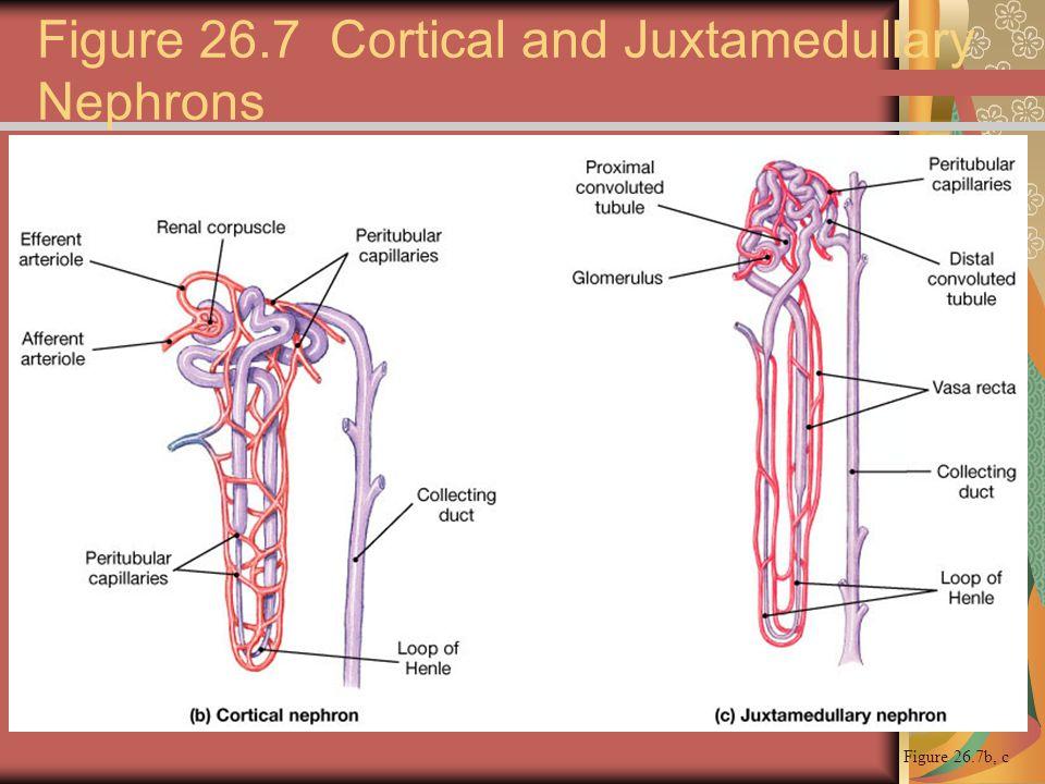 Figure 26.7b, c Figure 26.7 Cortical and Juxtamedullary Nephrons