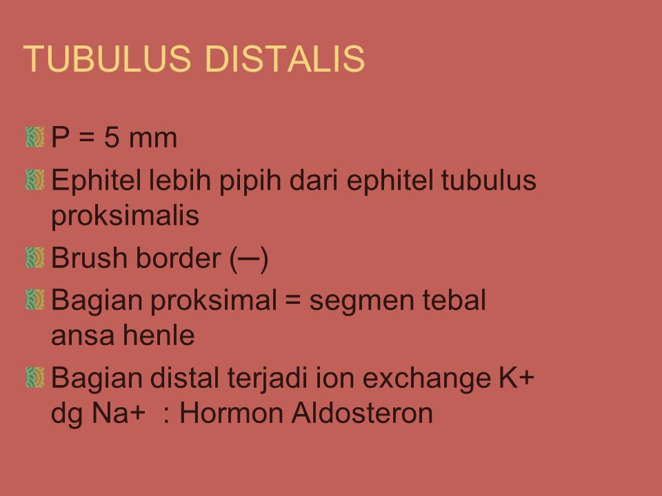 TUBULUS DISTALIS P = 5 mm Ephitel lebih pipih dari ephitel tubulus proksimalis Brush border (─) Bagian proksimal = segmen tebal ansa henle Bagian distal terjadi ion exchange K+ dg Na+ : Hormon Aldosteron