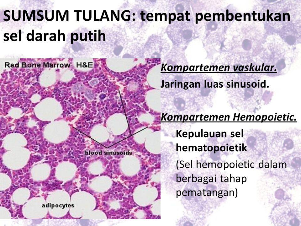 SUMSUM TULANG: tempat pembentukan sel darah putih Kompartemen vaskular. Jaringan luas sinusoid. Kompartemen Hemopoietic. Kepulauan sel hematopoietik (