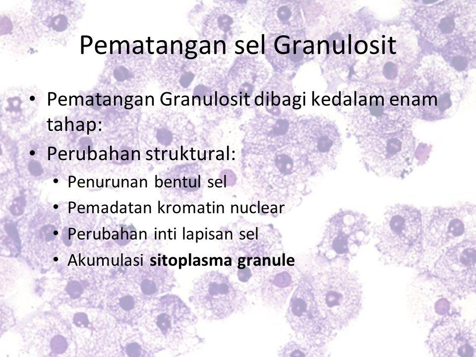 Pematangan sel Granulosit Pematangan Granulosit dibagi kedalam enam tahap: Perubahan struktural: Penurunan bentul sel Pemadatan kromatin nuclear Perub