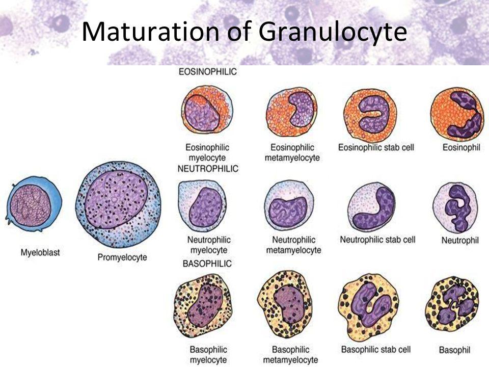 Maturation of Granulocyte