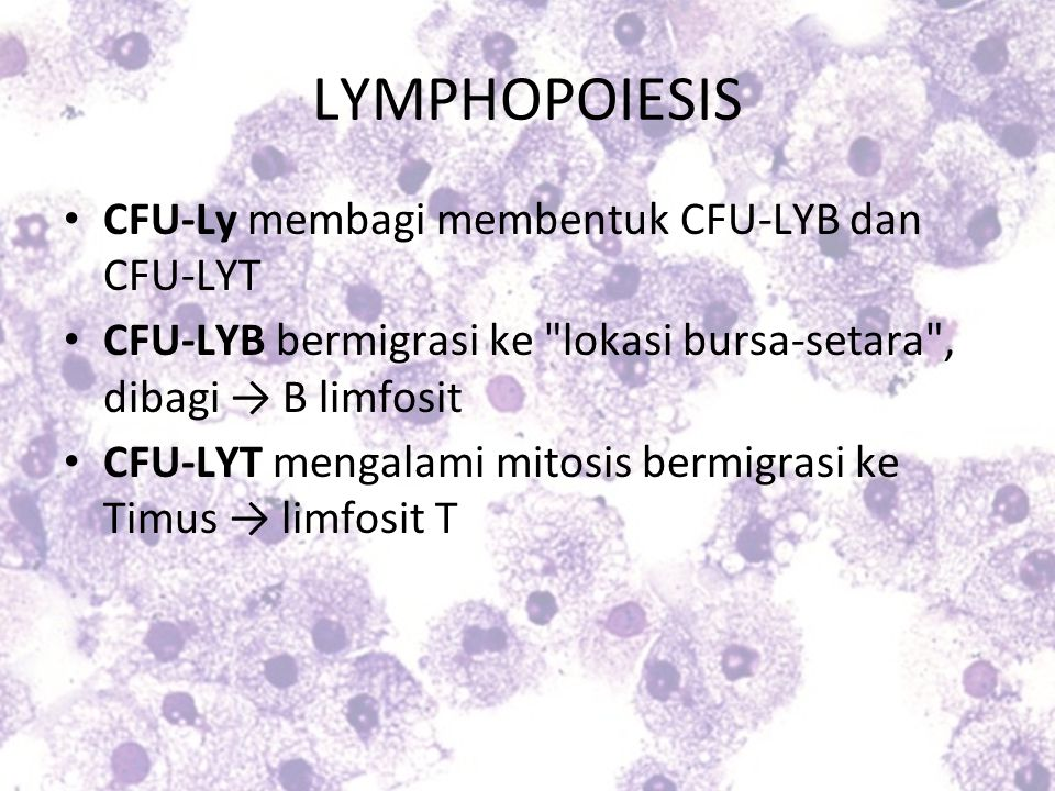 CFU-Ly membagi membentuk CFU-LYB dan CFU-LYT CFU-LYB bermigrasi ke
