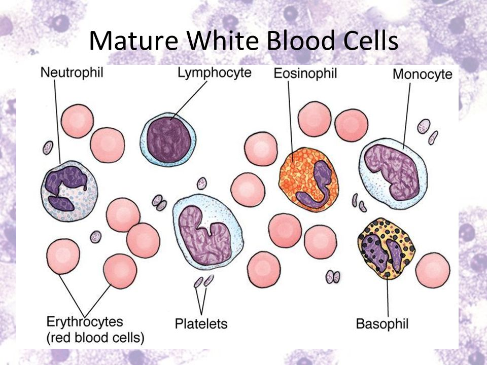 Mature White Blood Cells