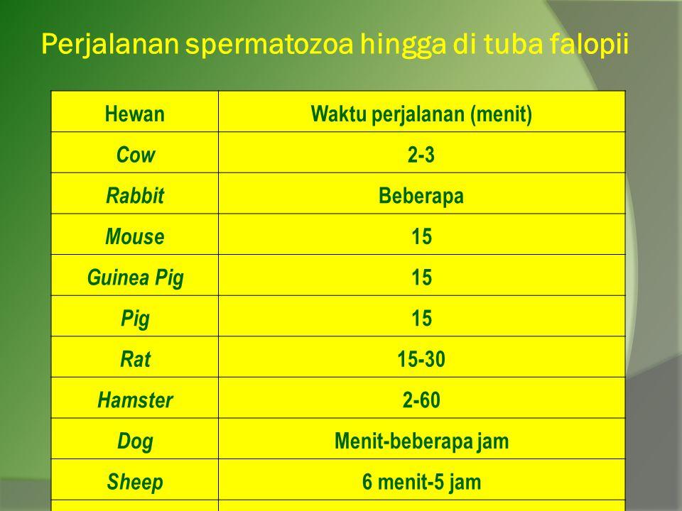 Perjalanan spermatozoa hingga di tuba falopii HewanWaktu perjalanan (menit) Cow 2-3 Rabbit Beberapa Mouse 15 Guinea Pig 15 Pig 15 Rat 15-30 Hamster 2-60 Dog Menit-beberapa jam Sheep 6 menit-5 jam Woman 5-68