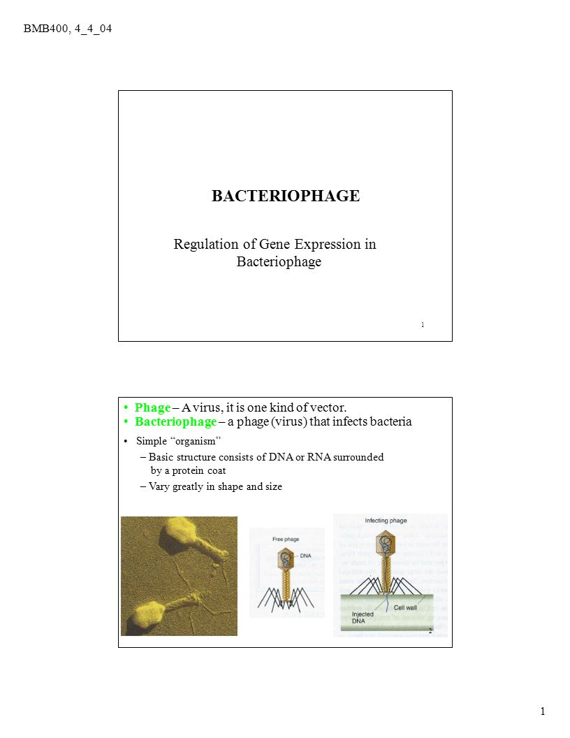 BMB400, 4_4_04 1 1 Regulation of Gene Expression in Bacteriophage BACTERIOPHAGE 2 Phage – A virus, it is one kind of vector. Bacteriophage – a phage (