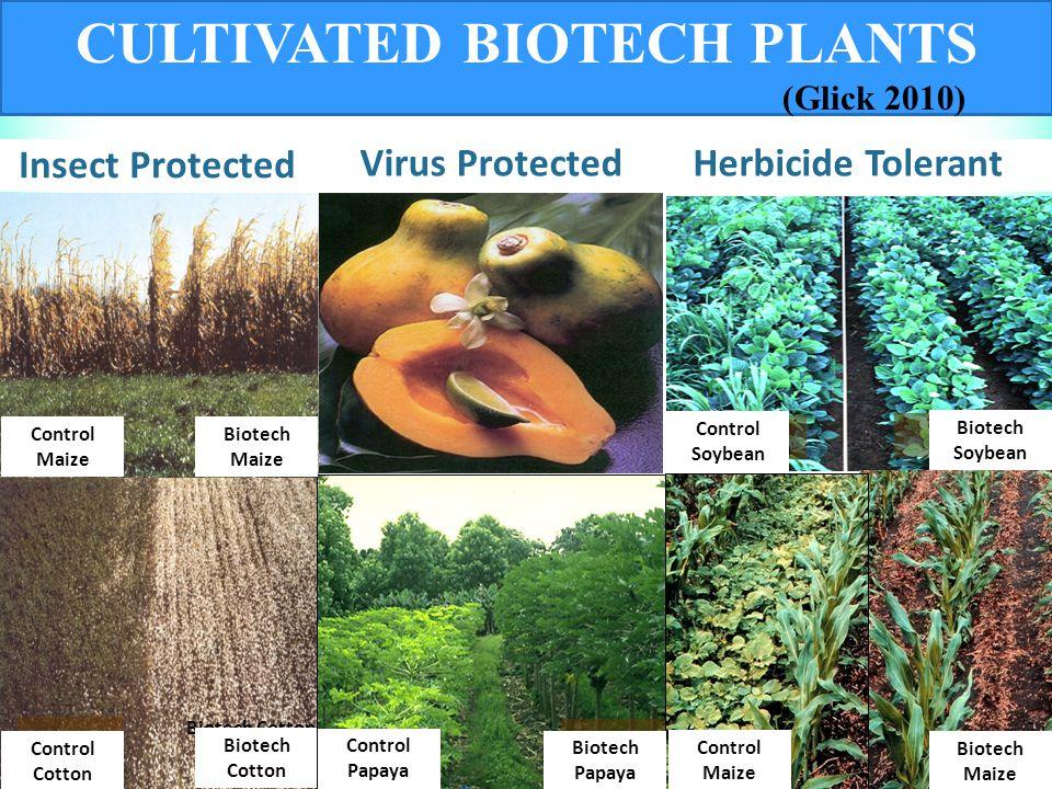 CULTIVATED BIOTECH PLANTS Biotech Cotton Control Corn Insect Protected Virus Protected Control Soybean Herbicide Tolerant Biotech Corn Control Maize Biotech Maize Biotech Soybean Control Cotton Control Soybean Biotech Maize Biotech Papaya Control Papaya Control Maize (Glick 2010)
