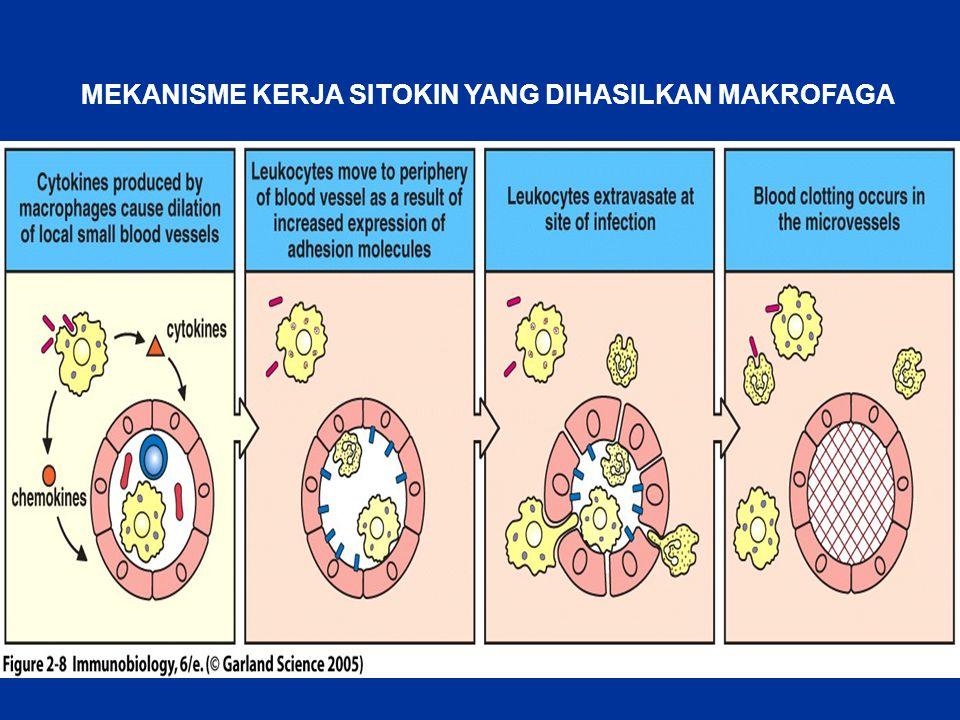Figure 2-8 MEKANISME KERJA SITOKIN YANG DIHASILKAN MAKROFAGA