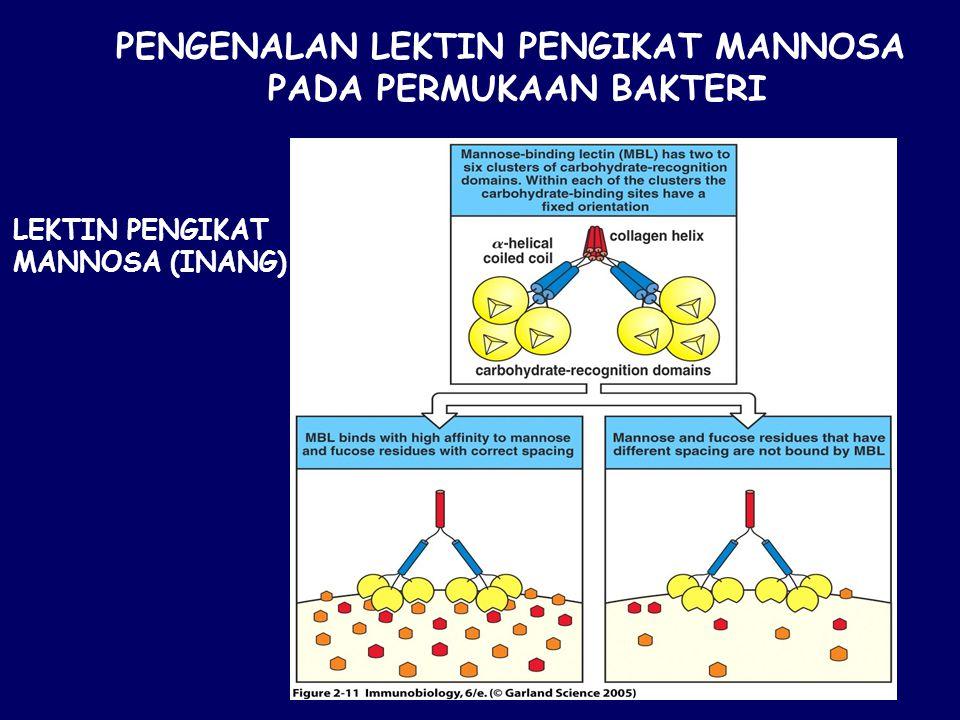 Figure 2-11 PENGENALAN LEKTIN PENGIKAT MANNOSA PADA PERMUKAAN BAKTERI LEKTIN PENGIKAT MANNOSA (INANG)