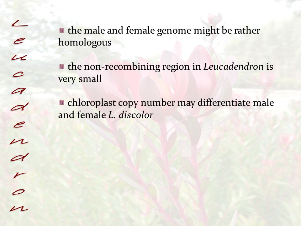 the male and female genome might be rather homologous the non-recombining region in Leucadendron is very small chloroplast copy number may differentiate male and female L.