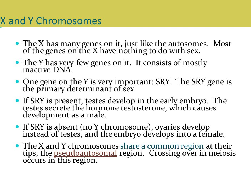 X and Y Chromosomes The X has many genes on it, just like the autosomes.