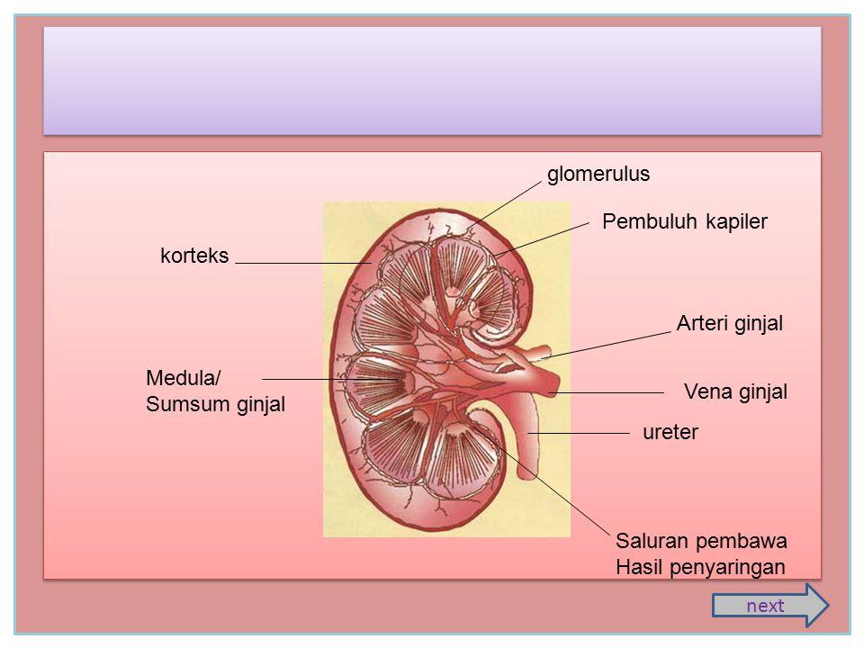 Ginjal (ren) Manusia memiliki sepasang ginjal yang terletak di depan sebelah kiri dan kanan tulang belakang bagian pinggang.