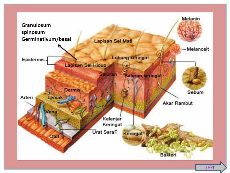 Kulit (integumen) Merupakan lapisan terluar tubuh manusia dan merupakan pelindung bagian dalam tubuh Struktur Kulit