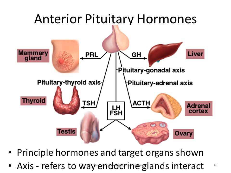 Endocrinologi Reproduksi,Trinil susilawati10 Anterior Pituitary Hormones Principle hormones and target organs shown Axis - refers to way endocrine glands interact