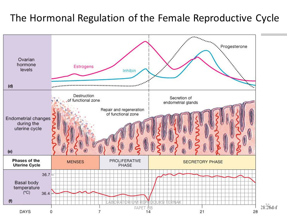 Figure 28.26d-f The Hormonal Regulation of the Female Reproductive Cycle Animation: Regulation of the Female Reproductive Cycle PLAY 31 LABORATORIUM REPRODUKSI TERNAK FAPET UB
