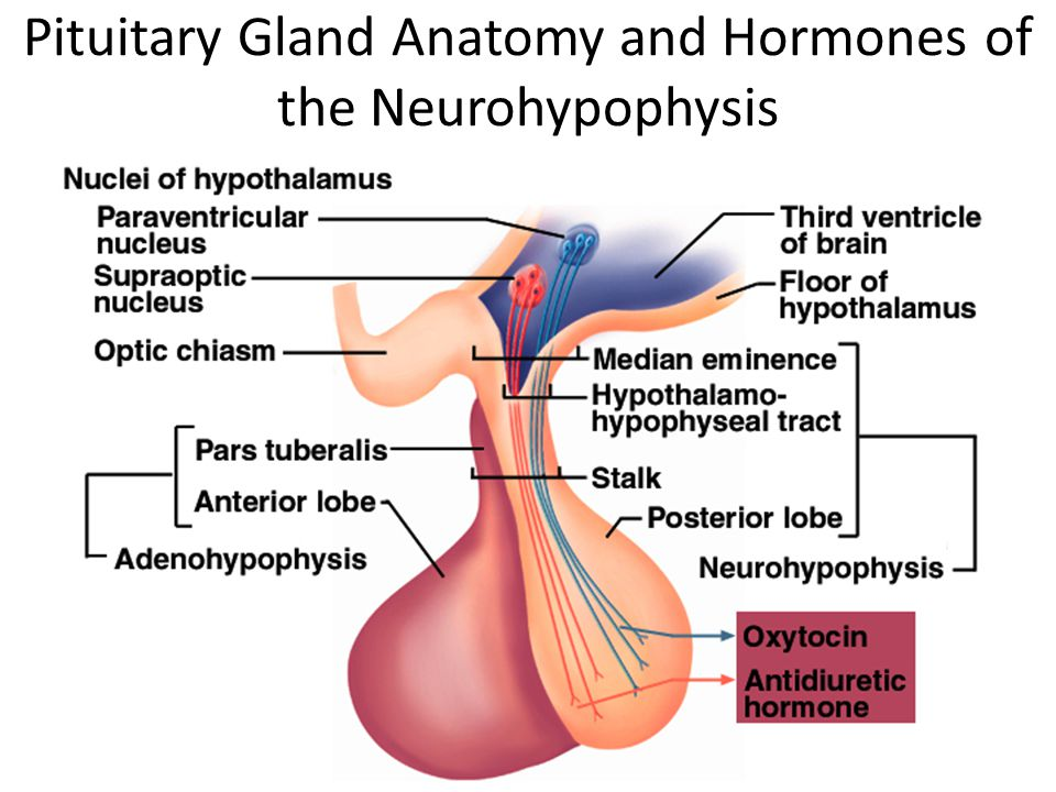 Endocrinologi Reproduksi,Trinil susilawati9 Pituitary Gland Anatomy and Hormones of the Neurohypophysis