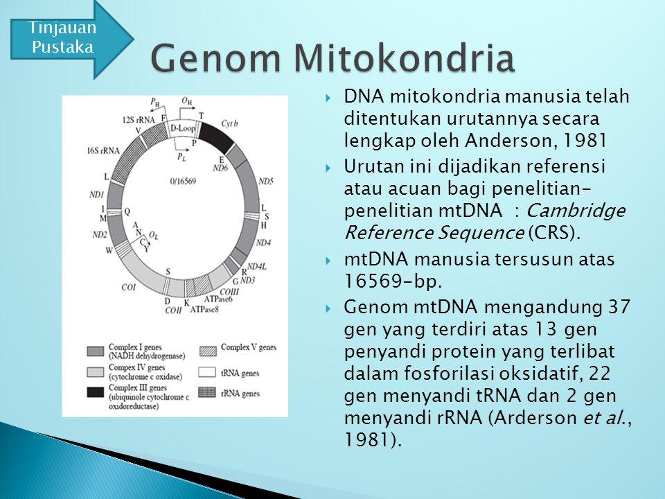  DNA mitokondria manusia telah ditentukan urutannya secara lengkap oleh Anderson, 1981  Urutan ini dijadikan referensi atau acuan bagi penelitian- penelitian mtDNA : Cambridge Reference Sequence (CRS).
