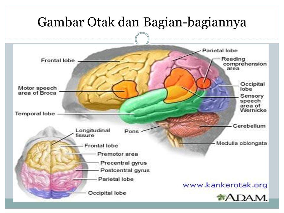 3 ) Otak kecil (serebelum) Otak kecil (cerebellum) merupakan bagian terbesar otak belakang.
