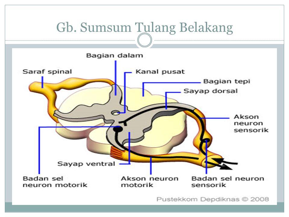 Sumsum Tulang Belakang Sumsum tulang belakang adalah saraf yang tipis yang merupakan perpanjangan dari sistem saraf pusat dari otak dan melengkungi serta dilindungi oleh tulang belakang.sarafsistem saraf pusattulang belakang Sumsum tulang belakang (Medula spinalis) terletak di dalam rongga ruas-ruas tulang belakang,yaitu lanjutan dari medula oblongata memanjang sampai tulang punggung tepatnya sampai ruas tulang pinggang kedua (canalis centralis vertebrae) menonjol membentuk sayap punggung (tanduk dorsal) dan sayap perut (tanduk ventral).