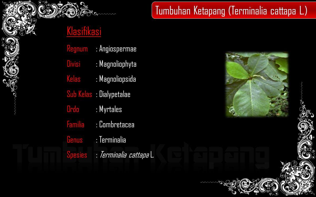 Klasifikasi Regnum: Angiospermae Divisi: Magnoliophyta Kelas: Magnoliopsida Sub Kelas: Dialypetalae Ordo : Myrtales Familia : Combretacea Genus : Terminalia Spesies : Terminalia cattapa L.
