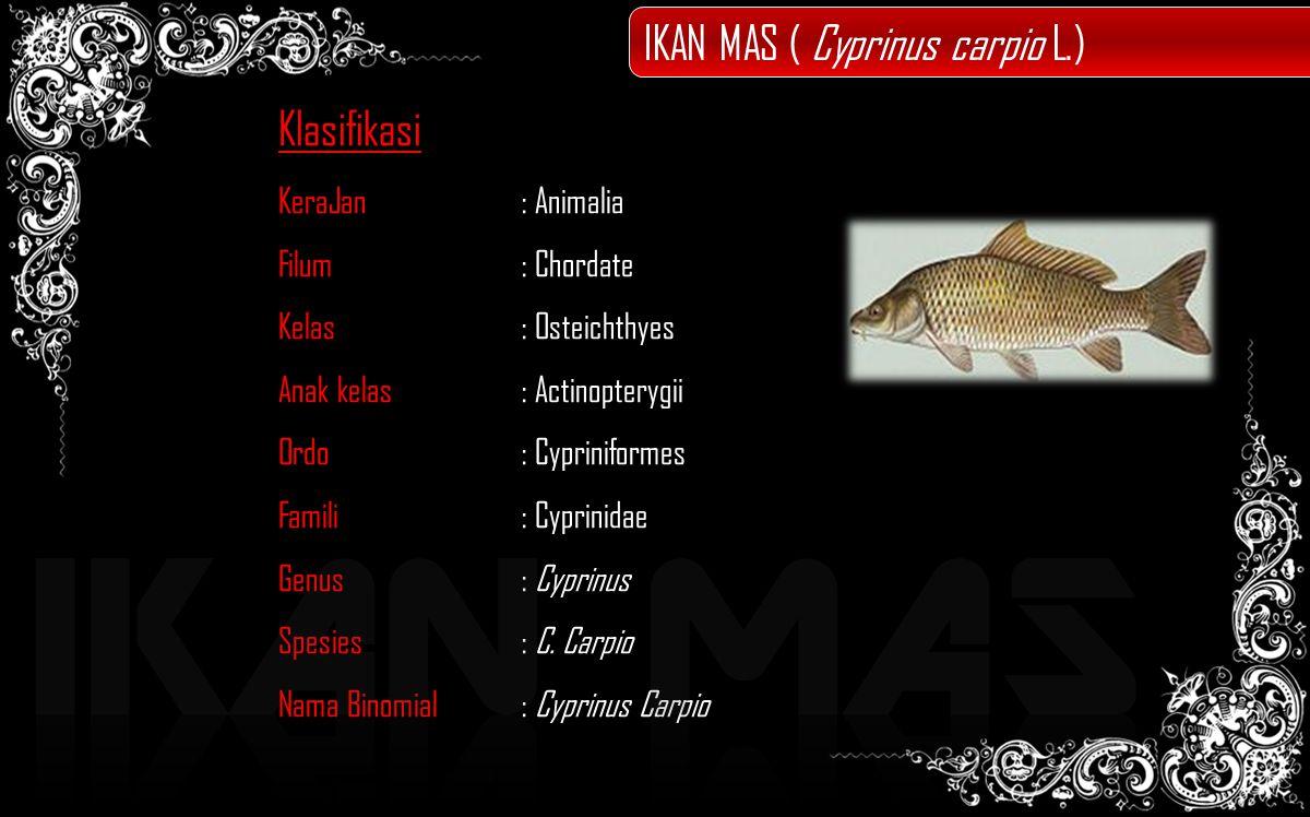 Klasifikasi KeraJan: Animalia Filum: Chordate Kelas: Osteichthyes Anak kelas : Actinopterygii Ordo: Cypriniformes Famili: Cyprinidae Genus: Cyprinus Spesies: C.