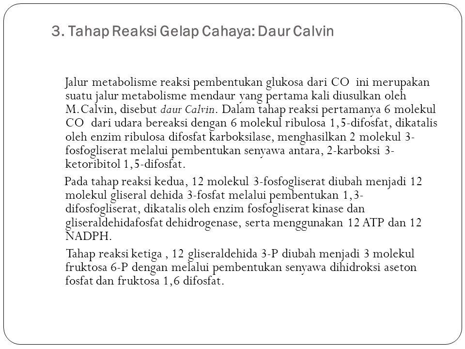 3. Tahap Reaksi Gelap Cahaya: Daur Calvin Jalur metabolisme reaksi pembentukan glukosa dari CO ini merupakan suatu jalur metabolisme mendaur yang pert
