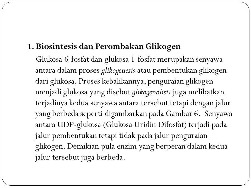 1. Biosintesis dan Perombakan Glikogen Glukosa 6-fosfat dan glukosa 1-fosfat merupakan senyawa antara dalam proses glikogenesis atau pembentukan gliko