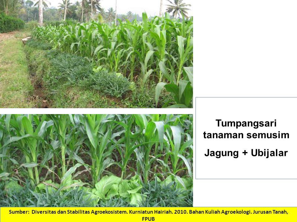 Tumpangsari tanaman semusim Jagung + Ubijalar Sumber: Diversitas dan Stabilitas Agroekosistem.