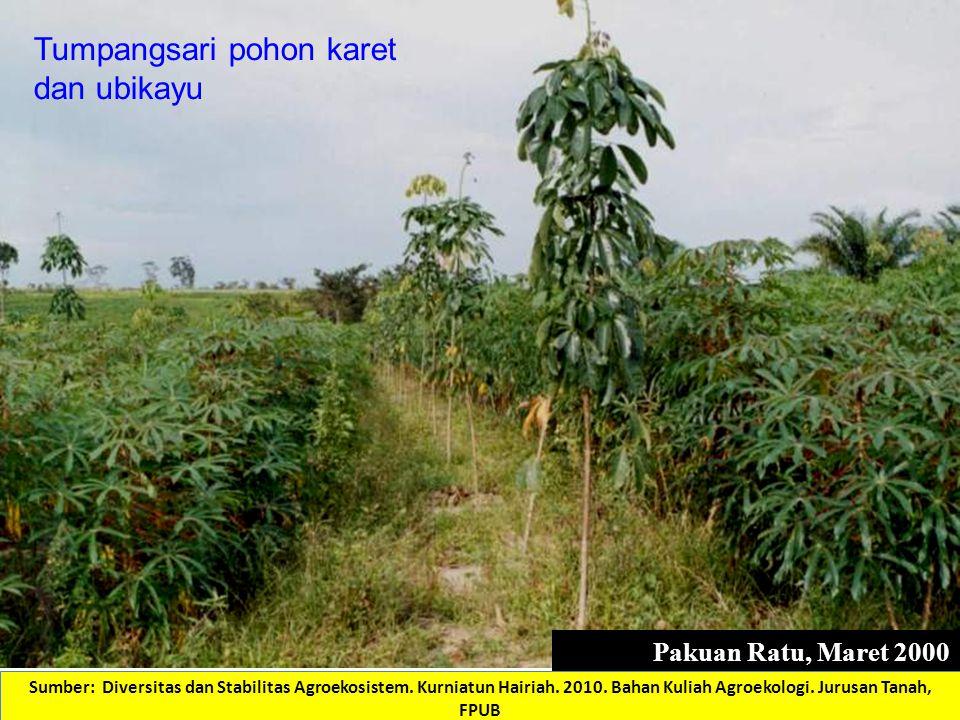 Pakuan Ratu, Maret 2000 (Foto: Kurniatun Hairiah) Tumpangsari pohon karet dan ubikayu Sumber: Diversitas dan Stabilitas Agroekosistem. Kurniatun Hair
