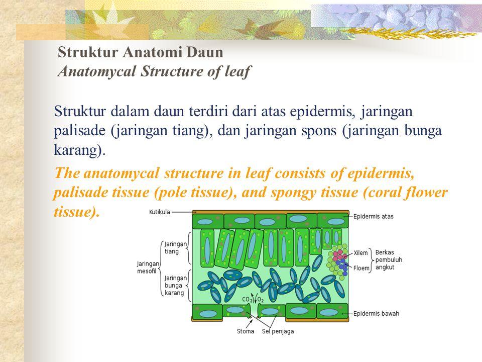 Struktur Anatomi Daun Anatomycal Structure of leaf Struktur dalam daun terdiri dari atas epidermis, jaringan palisade (jaringan tiang), dan jaringan s