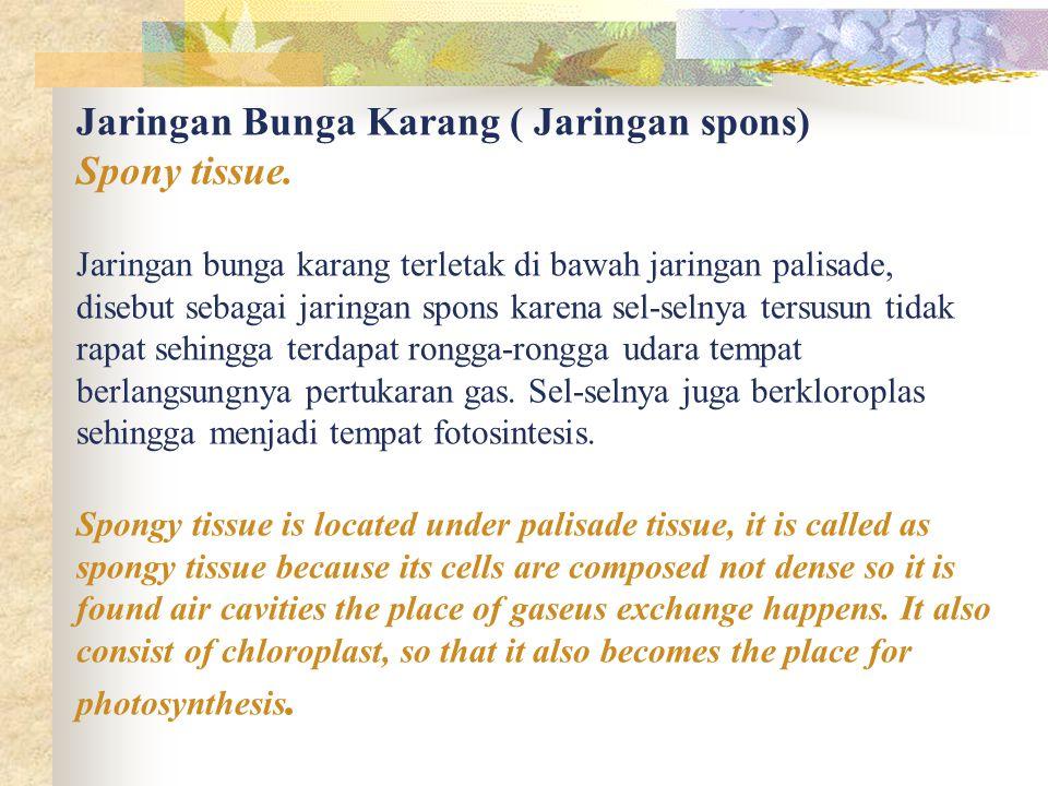 Jaringan Bunga Karang ( Jaringan spons) Spony tissue. Jaringan bunga karang terletak di bawah jaringan palisade, disebut sebagai jaringan spons karena