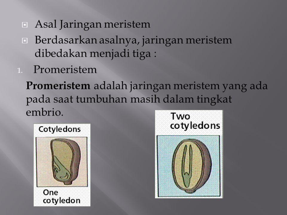  Asal Jaringan meristem  Berdasarkan asalnya, jaringan meristem dibedakan menjadi tiga : 1. Promeristem Promeristem adalah jaringan meristem yang ad