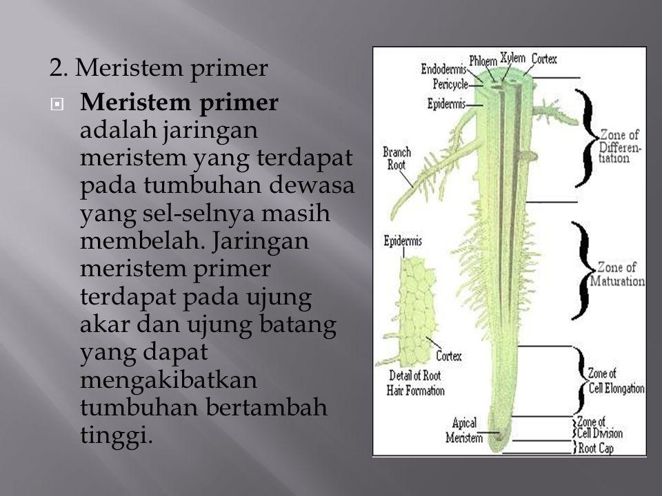 2. Meristem primer  Meristem primer adalah jaringan meristem yang terdapat pada tumbuhan dewasa yang sel-selnya masih membelah. Jaringan meristem pri