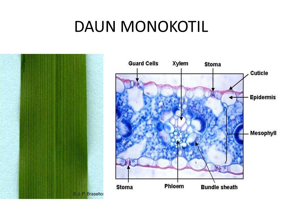 DAUN MONOKOTIL