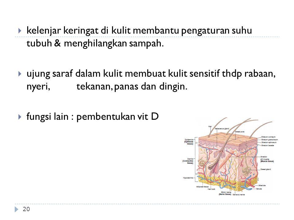 20  kelenjar keringat di kulit membantu pengaturan suhu tubuh & menghilangkan sampah.  ujung saraf dalam kulit membuat kulit sensitif thdp rabaan, n