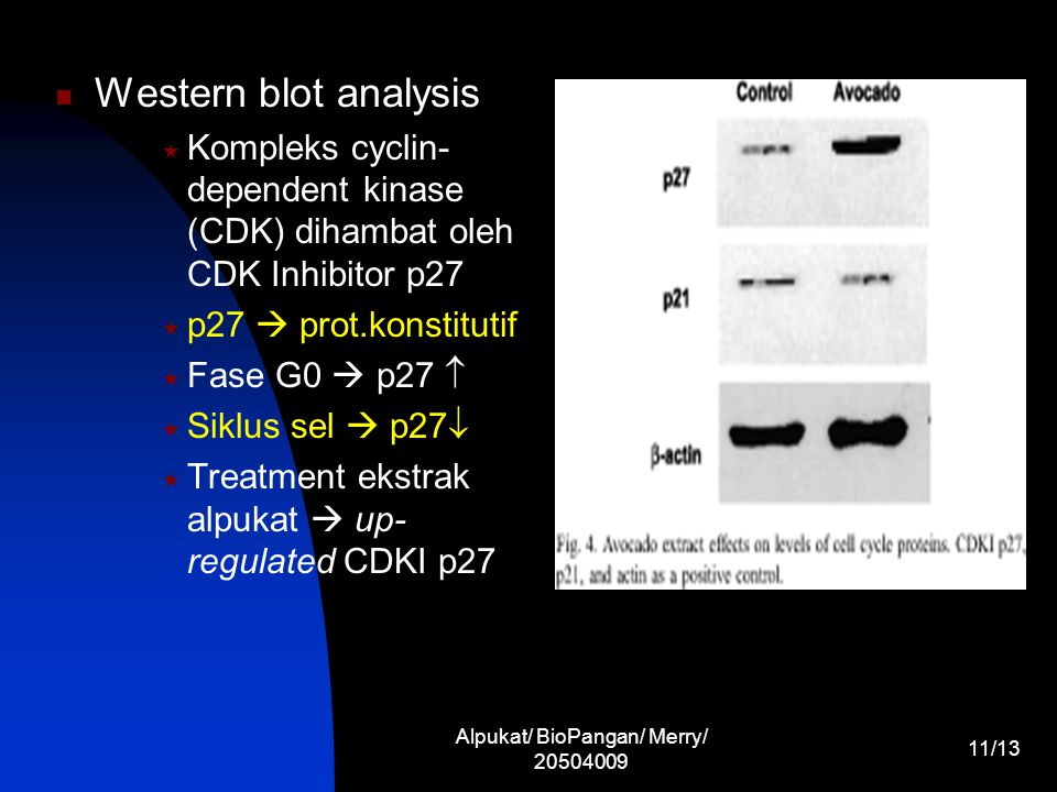Alpukat/ BioPangan/ Merry/ 20504009 11/13 Western blot analysis  Kompleks cyclin- dependent kinase (CDK) dihambat oleh CDK Inhibitor p27  p27  prot