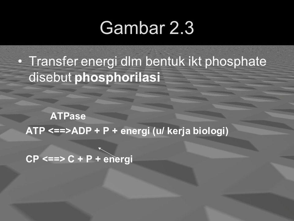 Gambar 2.3 Transfer energi dlm bentuk ikt phosphate disebut phosphorilasi ATPase ATP ADP + P + energi (u/ kerja biologi) CP C + P + energi