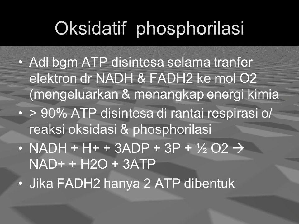 Oksidatif phosphorilasi Adl bgm ATP disintesa selama tranfer elektron dr NADH & FADH2 ke mol O2 (mengeluarkan & menangkap energi kimia > 90% ATP disintesa di rantai respirasi o/ reaksi oksidasi & phosphorilasi NADH + H+ + 3ADP + 3P + ½ O2  NAD+ + H2O + 3ATP Jika FADH2 hanya 2 ATP dibentuk