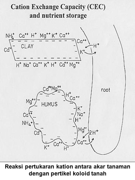 Reaksi pertukaran kation antara akar tanaman dengan pertikel koloid tanah