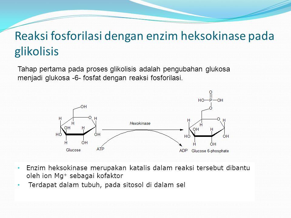 Reaksi fosforilasi dengan enzim heksokinase pada glikolisis Enzim heksokinase merupakan katalis dalam reaksi tersebut dibantu oleh ion Mg + sebagai kofaktor Terdapat dalam tubuh, pada sitosol di dalam sel Tahap pertama pada proses glikolisis adalah pengubahan glukosa menjadi glukosa -6- fosfat dengan reaksi fosforilasi.