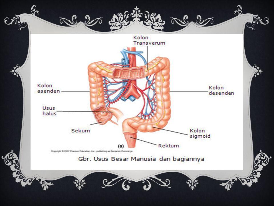 Fungsi Kolon (usus besar) 1)Mengatur kadar air sisa makanan 2)Menyerap air selama proses pencernaan. 3)Membentuk massa feses 4)Mendorong sisa makanan