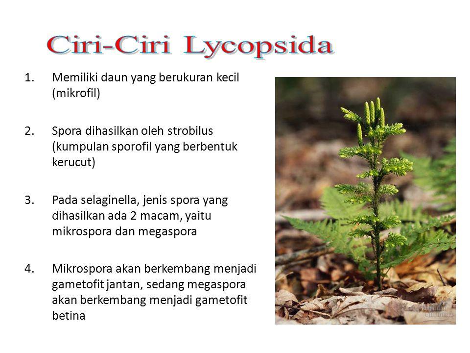 1.Memiliki daun yang berukuran kecil (mikrofil) 2.Spora dihasilkan oleh strobilus (kumpulan sporofil yang berbentuk kerucut) 3.Pada selaginella, jenis spora yang dihasilkan ada 2 macam, yaitu mikrospora dan megaspora 4.Mikrospora akan berkembang menjadi gametofit jantan, sedang megaspora akan berkembang menjadi gametofit betina