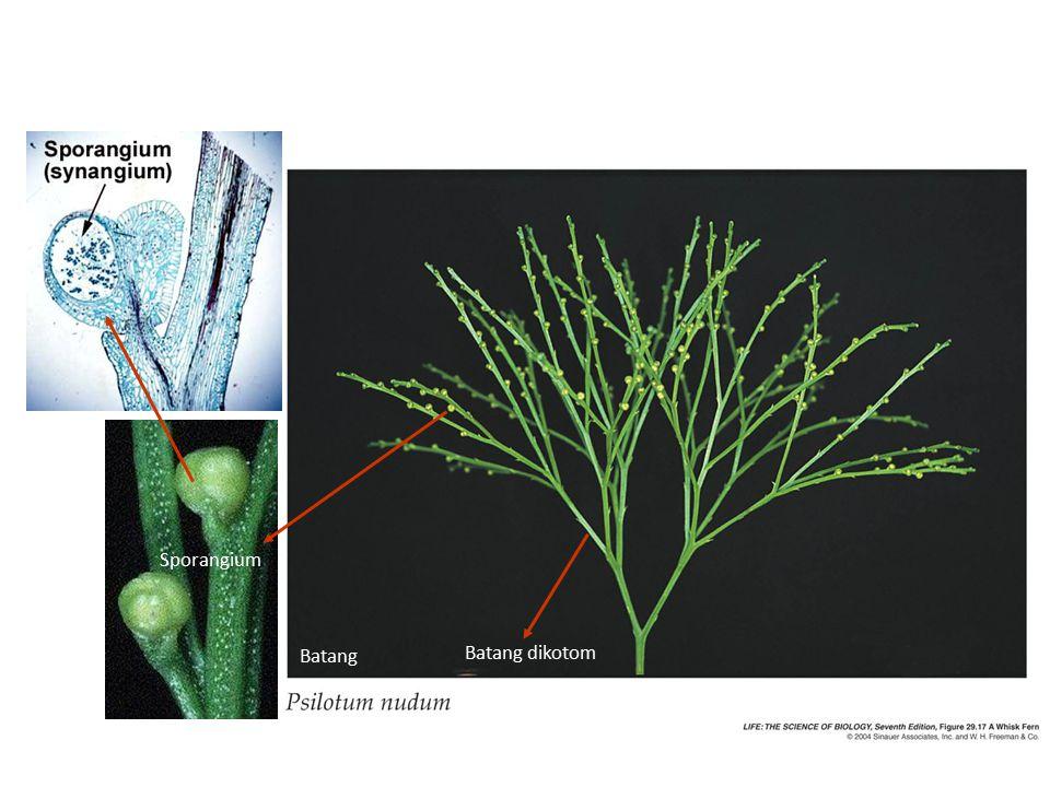 Batang Batang dikotom Sporangium